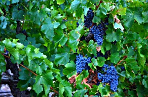 Barossa Grapes