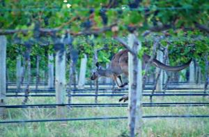 Barossa Vine Kangaroo 1