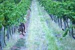 Barossa Vine Kangaroo 4