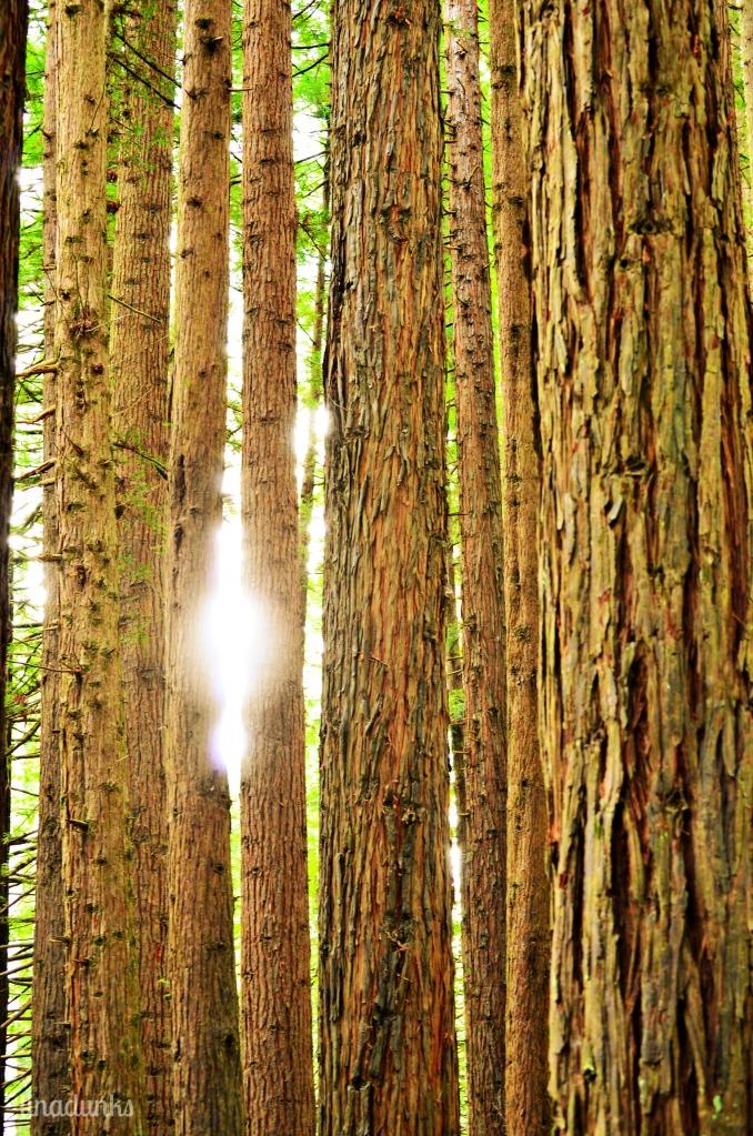 Cape Otway National Park Sequoia Trees