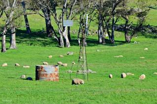 Menglers Hill Sheep