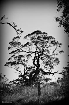 Menglers Hill Tree