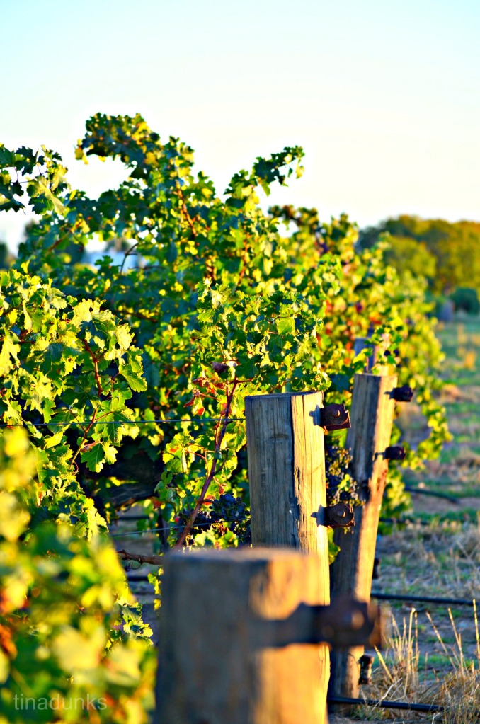 Vines, basking in the first Autumn Sunrise.