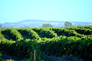Sunkissed Vines