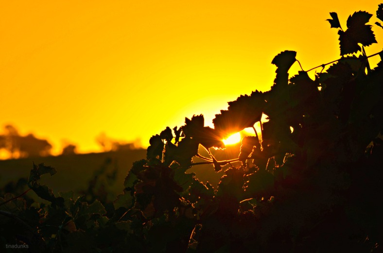 The first Dawn of Autumn 2014 over Vines in the Barossa Valley.
