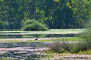 Black Swan in the Wetlands
